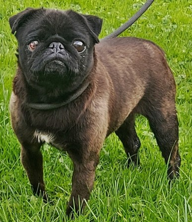 'Jessie' 4 year old female Pug. Originally a stray history/habits unknown. She had a terrible eye ulcer which neede d urgent veterinay treatment when she arrived, however after a week of the correct treatment it has improved. Unfortunately the ulcer has caused permanent damage and eventually Jessie will go blind in her right eye. Doesn't stop her on a day to day basis after initially being very nervous on arrival she's now a confident little lady looking for her new forever home.
