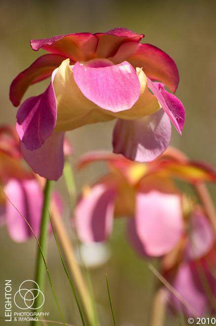 Gulf Purple Pitcher Plant (Sarracenia rosea)