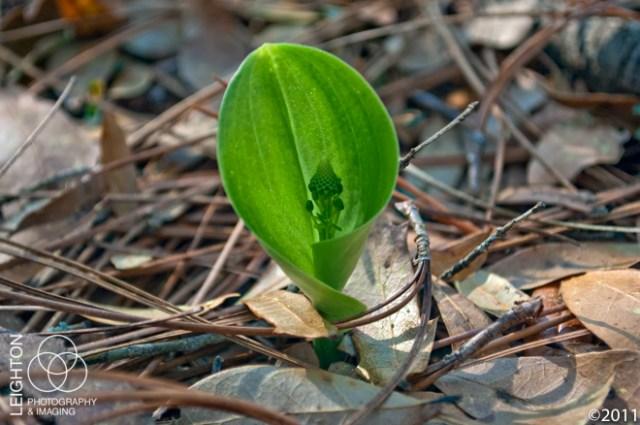 Green Adder's-Mouth (Malaxis unifolia)