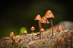 Red-orange Mycena