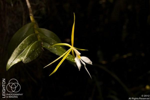 EpidendrumNocturnum106