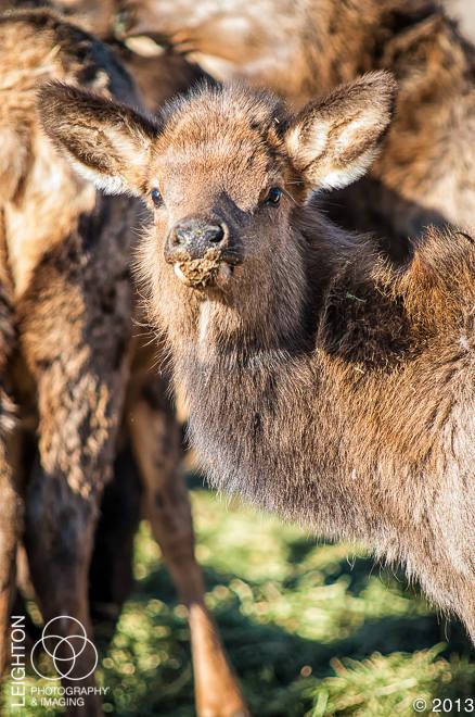 Baby Elk