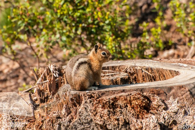 CascadeGoldenMantledGroundSquirrel100