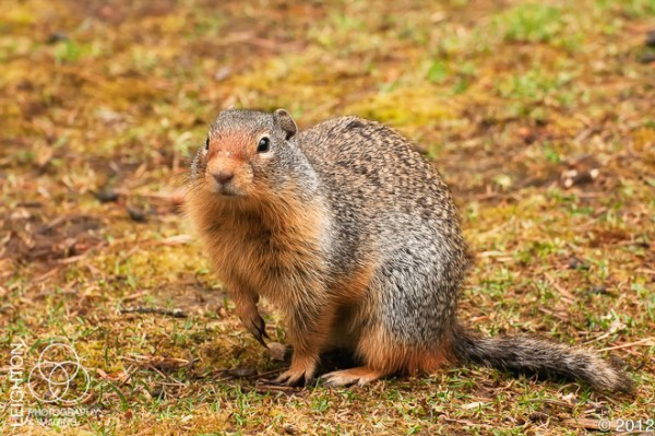 ColumbianGroundSquirrel100