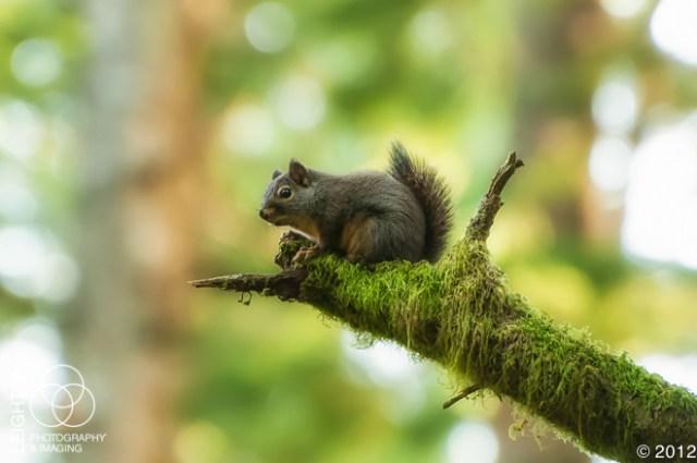DouglasSquirrel100