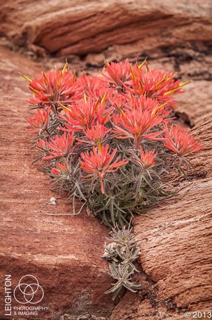 Eastwood Indian Paintbrush