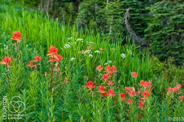 Great Red Paintbrushes on Mount Rainier