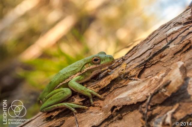 Squirrel Treefrog