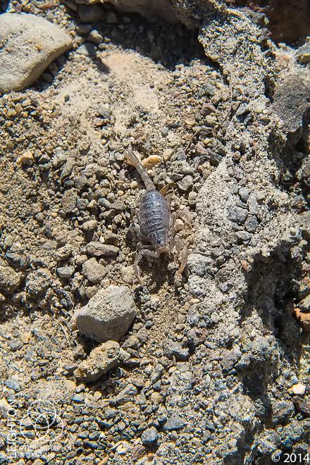 Baby Northern Scorpion (Paruroctonus boreus)