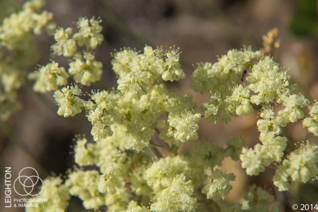 Parsley Desert Buckwheat