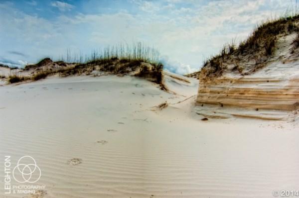 Bobcat Tracks across the Sand Dunes