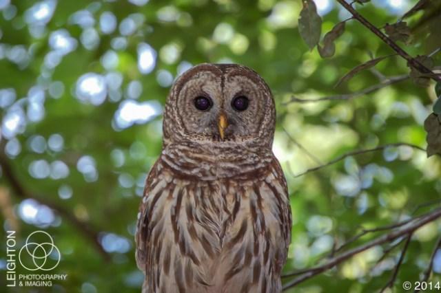 Fakahatchee Barred Owl