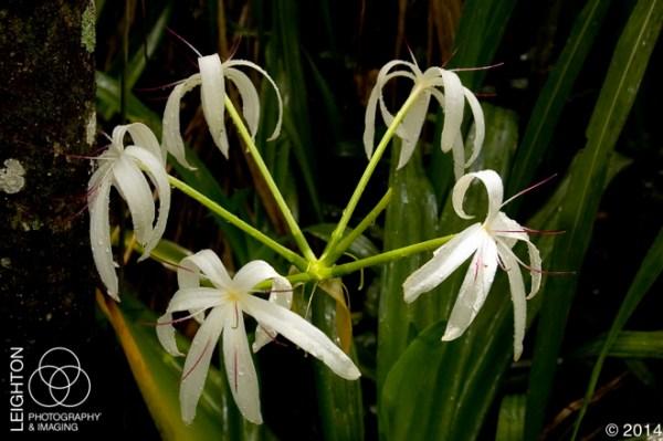 Swamp Lilies