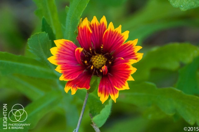 Indian Blanketflower