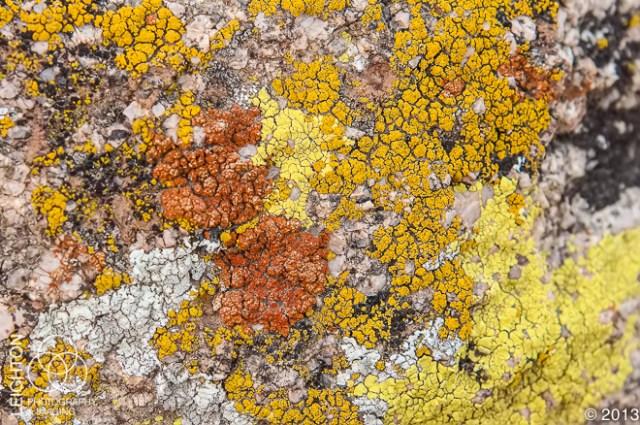Mojave Desert Lichen Community in Joshua Tree National Park