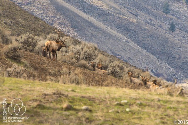 Rocky Mountain Elk - Bull and Harem