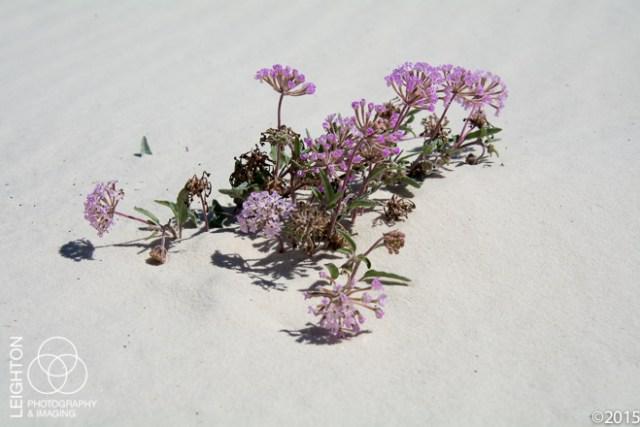 Sand Verbena