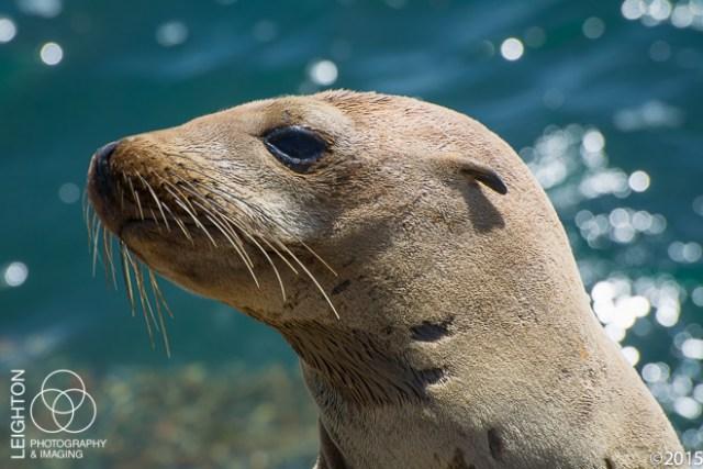 California Sea Lion Yearling