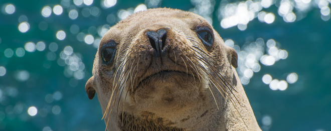 California Sea Lion Yearling