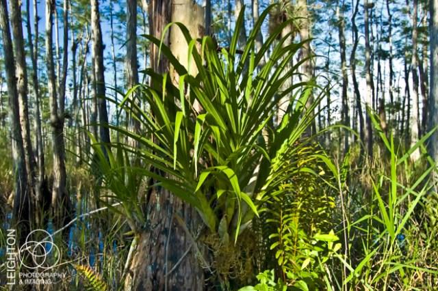 Cigar Orchid (Cyrtopodium punctatum)