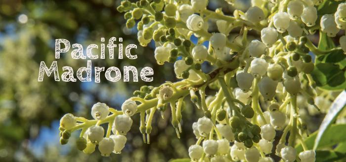 pacific-madrone