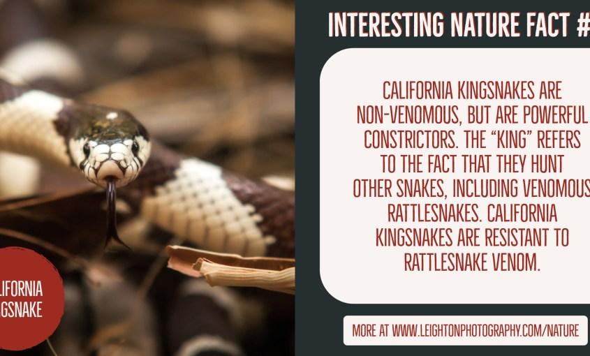 California Kingsnake