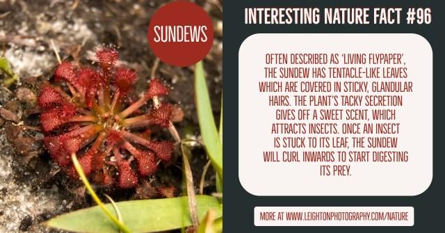 Sundews