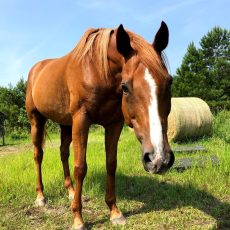 Sweet Candy Man – Ready for Adoption – Companion Horse