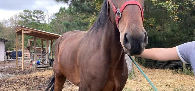 Spirit – Ready for Adoption – Rideable for Light Riding
