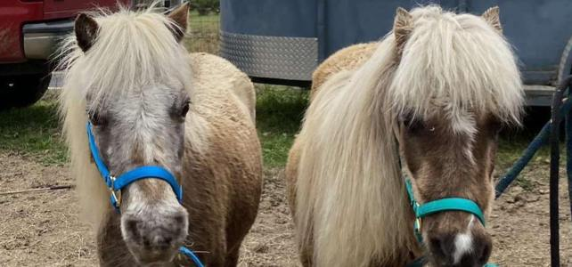 Laverne and Shirley – Companion Horses – In Need of Sponsors