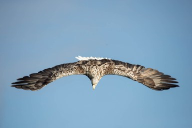white-tailed-eagle-diving
