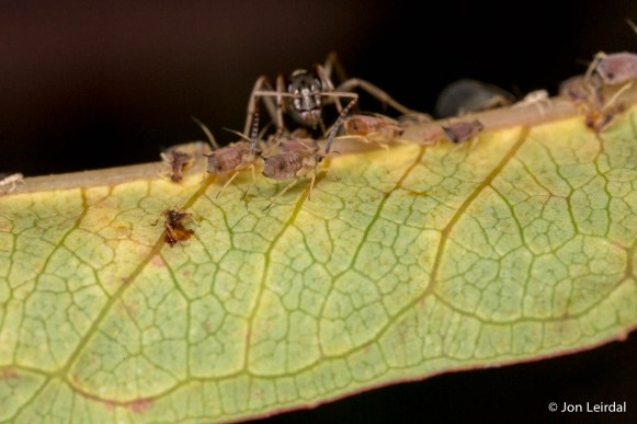 Ants minding their flock of aphids 4