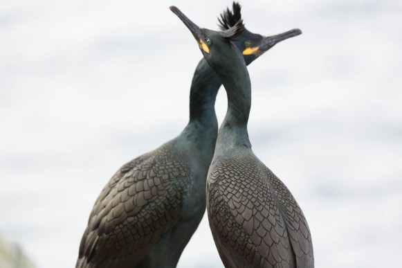 European shags neck to neck