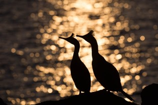 European shags in the sunset