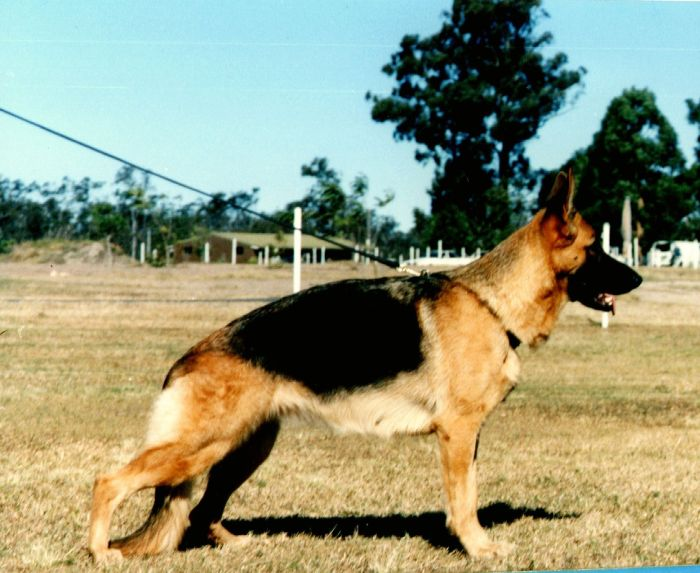 German-Shepherd-female-Leishjaclyn-Flash-Dancer
