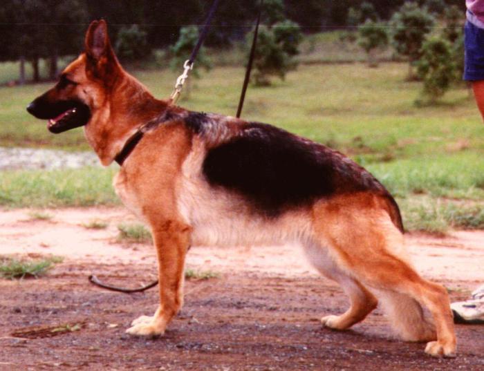 German-Shepherd-female-show-dog-Rosie-Standing