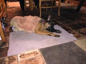 german-shepherd-girl-with-her-blanket-on