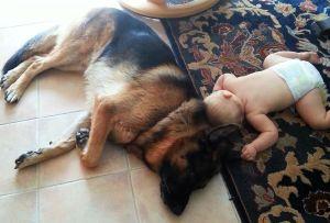 german-shepherd-male-babysitting