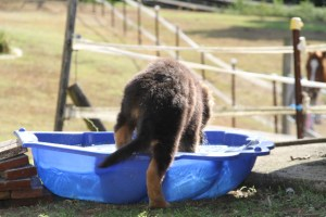 german-shepherd-puppy-getting-into-batch