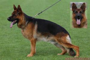 german-shepherd-sire-of-up-n-coming-litter-CALLE