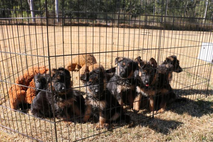 very-cute-litter-of-german-shepherd-puppies