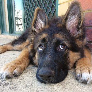 who-me-cute-german-shepherd-female-long-coat-puppy