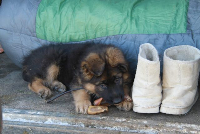 cute-german-shepherd-female-long-coat-puppy-with-boots