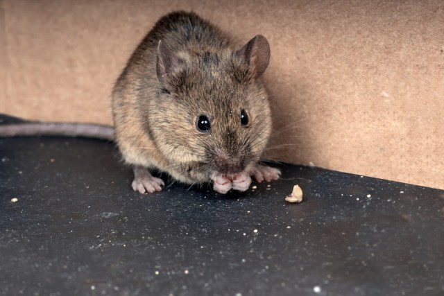 Mouse in caravan