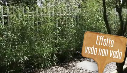 Siepe di bamb come coltivarla e curarla nel giardino  LEITV