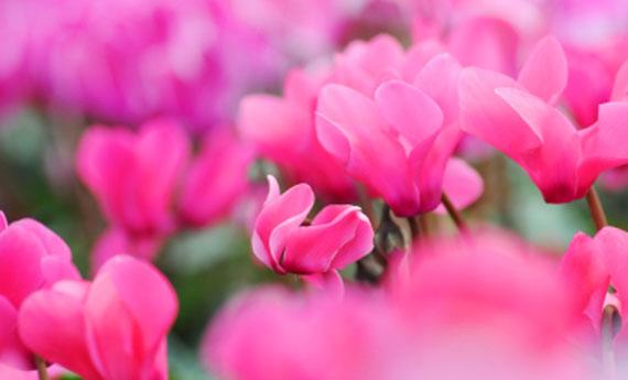 Ciclamini cure e segreti per fiori bellissimi  LEITV