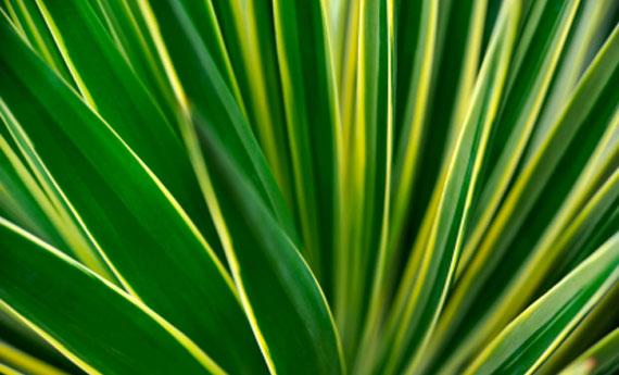 Yucca come curarla e riprodurla per avere il doppio della