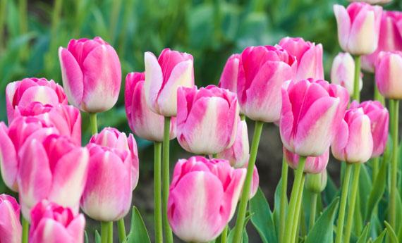 Tulipani come coltivarli in casa  LEITV