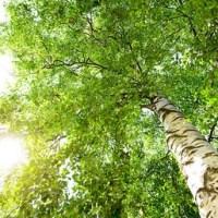 Les arbres pour mesurer l'évolution de la pollution.