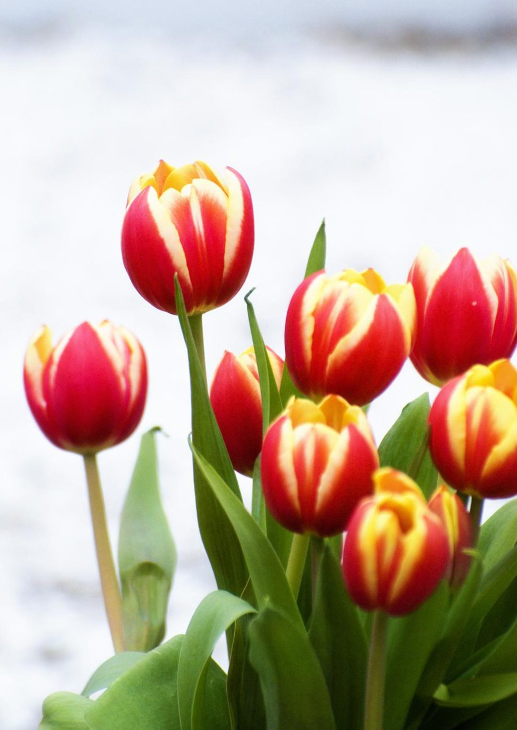 Tulipe  floraison multiplication et plantation
